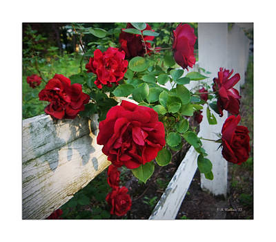 Red Roses - White Fence Print by Brian Wallace