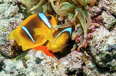 Red Sea Anemonefish Spawning Print by Georgette Douwma