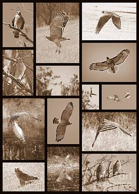 Red-shouldered Hawk Collage Print by Carol Groenen
