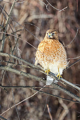 Red-shouldered Hawk Photograph - Red Shouldered Hawk Front View by Bill Wakeley