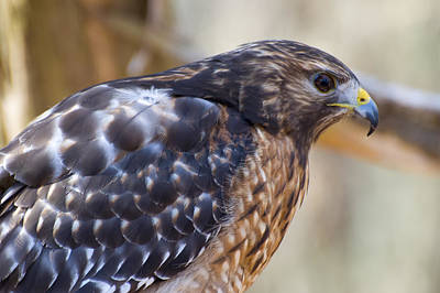 Red Shouldered Hawk Profile Print by Chris Flees