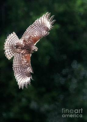 Red Shouldered Hawk Print by Sabrina L Ryan