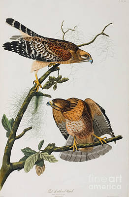 Naturalist Painting - Red Shoulered Hawk by Celestial Images