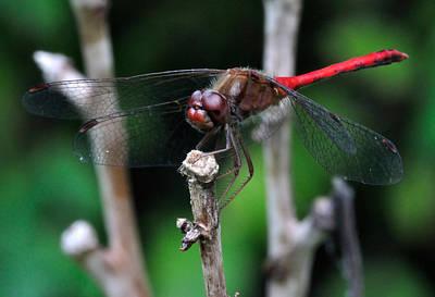 Dragonflies Photograph - Red Skimmer 2 by J Scott Davidson