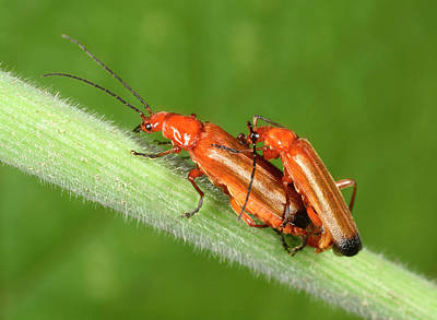 Beetle Photograph - Red Soldier Beetles by Nigel Downer