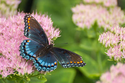 Wildlife Photograph - Red Spotted Admiral On Sedum by Photographic Arts And Design Studio