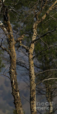 Red-tail Hawk   #0596 Print by J L Woody Wooden