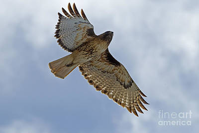 Red-tail Hawk #3094 Print by J L Woody Wooden