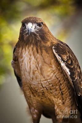 Hawk Photograph - Eyes Of The Raptor by David Millenheft