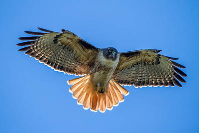 Red Tail Hawk Photograph - Red Tail Hawk by Pierre Leclerc Photography