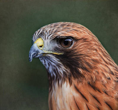 Red Tail Hawk Photograph - Red Tail Hawk Portrait by Angie Vogel