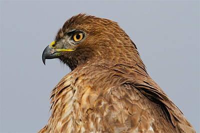 Red Tail Hawk Portrait Print by Paul Marto