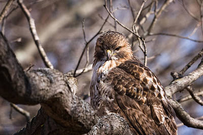 Red Tail Hawk Photograph - Red-tail Hawk Stare by Jeff Sinon