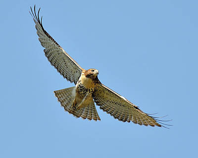 Red Tail In Flight Print by Angel Cher