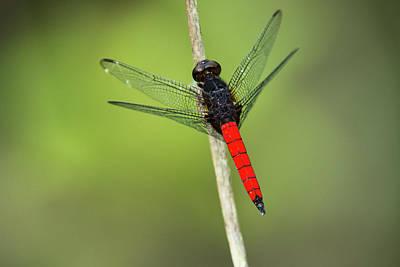Congo Photograph - Red-tailed Dragonfly, Odzala, Kokoua by Pete Oxford