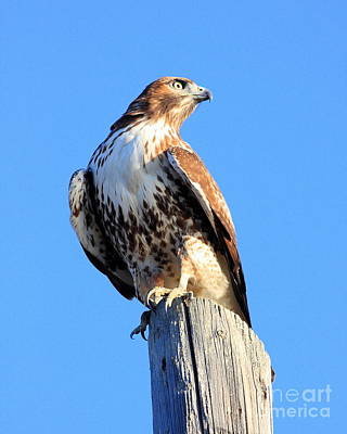 Red-tailed Hawk . 40d10167 Print by Wingsdomain Art and Photography