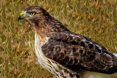 Red Tailed Hawk Close Up Print by John Absher
