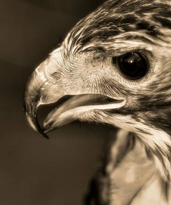 Hawk Photograph - Red Tailed Hawk by Dan Sproul