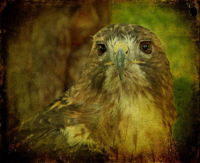 Red-tailed Hawk II Print by Sandy Keeton