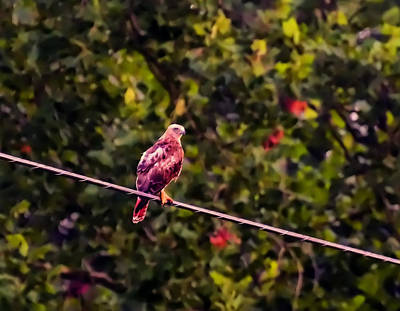 Red Tail Hawk Digital Art - Red Tailed Hawk On A Wire by Chris Flees