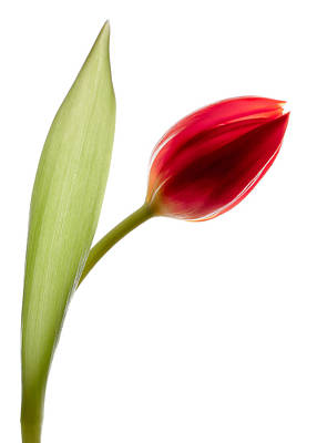 Red Tulip Print by Dave Bowman