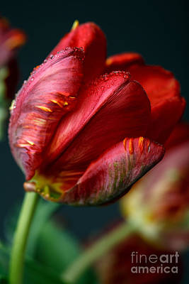 Dew Photograph - Red Tulip With Dew by Nailia Schwarz