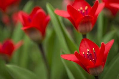 Close-up Photograph - Red Tulips by Arkady Kunysz