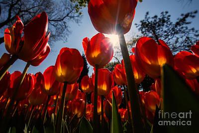 Red Tulips... Print by Merthan Kortan