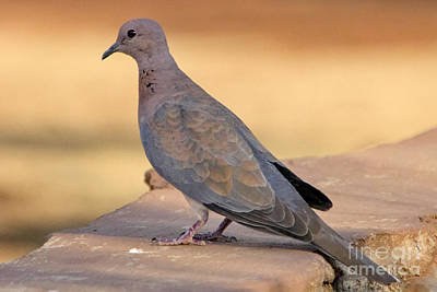 Dove Photograph - Red Turtle Dove by Douglas Barnard