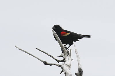 Wings Photograph - Red Winged Blackbird 3 by Cathy Lindsey