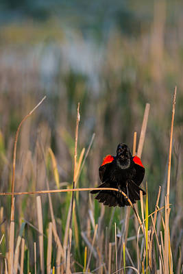 Red-winged Blackbird Displaying Print by  Onyonet  Photo Studios
