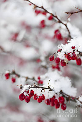 Red Winter Berries Under Snow Print by Elena Elisseeva