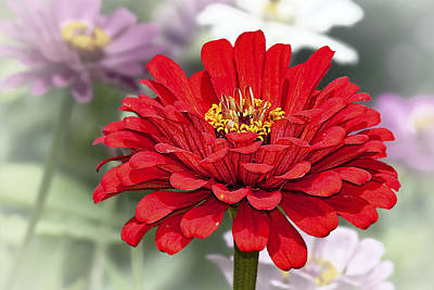 Flowers Photograph - Red Zinnia by Marcia Colelli