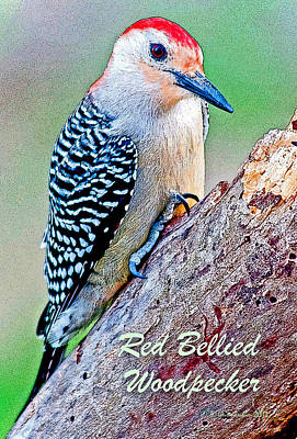 Print featuring the photograph Redbellied Woodpecker Poster Image by A Gurmankin