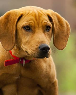 Coonhound Photograph - Redbone Coonhound - Man's Best Friend The Hound Dog by Kathy Clark