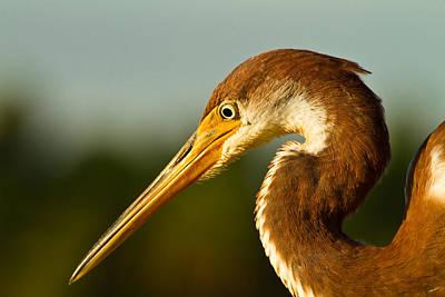 Ocean Photograph - Reddish Egret In Shark Valley Florida by Andres Leon