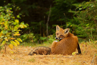 Surprise Photograph - Redfox, Algonquin Park by Jim Cumming