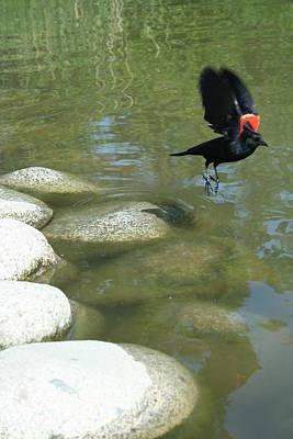 Photograph - Redwing Blackbird by Angela Hansen