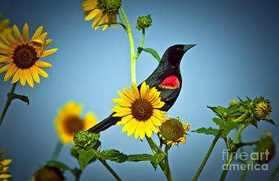 Redwing In Sunflowers Print by Robert Frederick