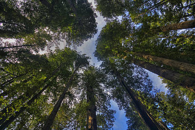 Redwood Canopy Print by Mark Kiver