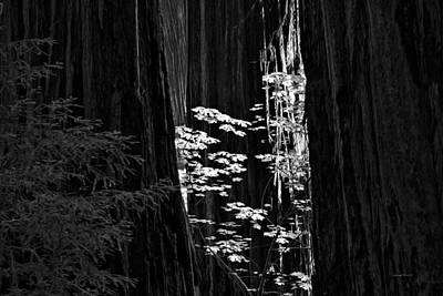 Redwoods Light And Texture Print by Leland D Howard