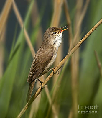 Warbler Mixed Media - Reed Warbler by Ivor Toms