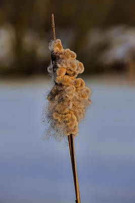 Reedmace Ready To Let Seed Fly In February 2015. Print by Leif Sohlman