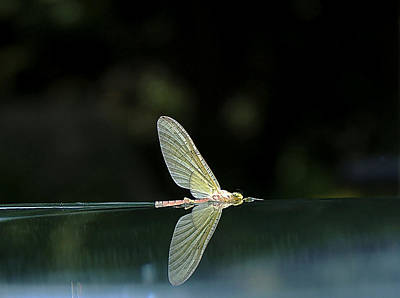 Mayfly Photograph - Reflected Cahill by Thomas Young