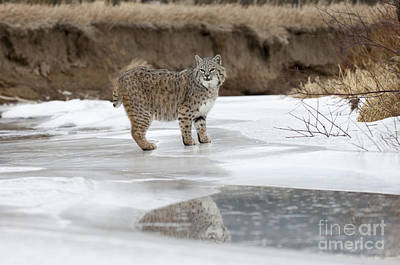 Reflected Glance Print by Wildlife Fine Art