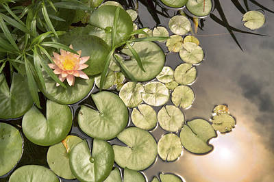 Reflected Light Upon Flowering Water Lilies Print by Jason Politte