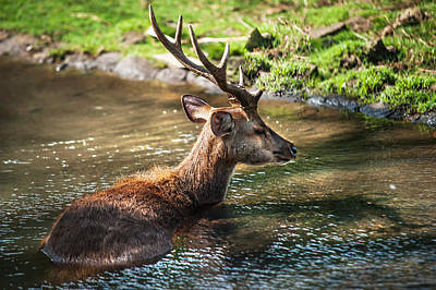 Refreshing 2. Male Deer In The Pampelmousse Botanical Garden. Mauritius Print by Jenny Rainbow