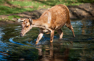 Refreshing. Female Deer In The Pamplemousse Botanical Garden. Mauritius Print by Jenny Rainbow