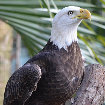 Bald Eagle Photograph - Regal Eagle by Richard Bryce and Family