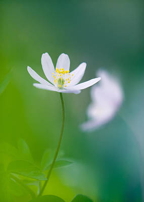 Thimbleweed Photograph - Rejuvenation by Sarah-fiona  Helme